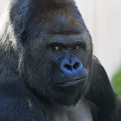 Face portrait of a gorilla male, severe silverback. Menacing expression of the great ape, the most dangerous and biggest monkey of the world. The chief of a gorilla family.