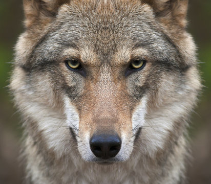 A look straight into your soul of a severe wolf female. Menacing expression of the young, two year old, european wolf, very beautiful animal and extreamly dangerous beast.