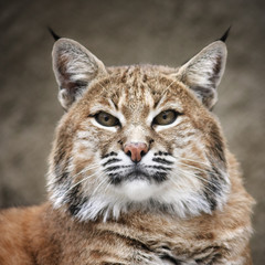 Face portrait of a red bobcat female, very beautiful beast of the North American forests. The head of the dangerous predator. Cute and cuddly animal of the wildlife.