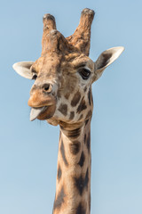 A giraffe sticks its tongue out at me