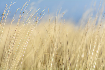 Close-up of a field of grains. Horizontal view of a field of gra