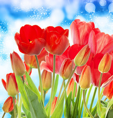 Beautiful garden fresh red tulips on abstract  blue background