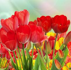 garden fresh colorful tulips.Springtime.