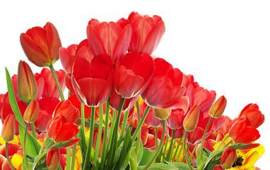 garden fresh colorful tulips
