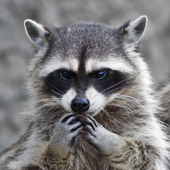 The head and hands of a cute and cuddly raccoon, that can be very dangerous beast. Side face portrait of the excellent representative of the wildlife. Human like expression on the animal face..
