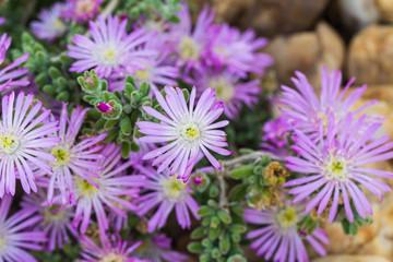 Purple delosperma flower in Spain