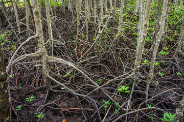 Aerial roots of abundant mangrove swamp forest. Mangrove plants are found in Chumphon province, Southern Thailand.