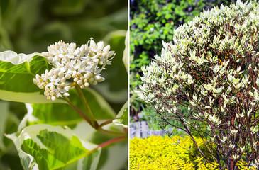White dogwood (Cornus alba L.)