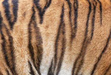 Side of a Siberian tiger body. Natural striped pattern on the orange tiger skin. Texture background of the most beautiful animal. Grace of the wildlife.
