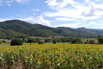 sunflower field on the mountain