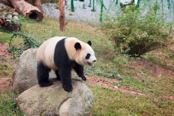 Poster Panda Panda in zoo