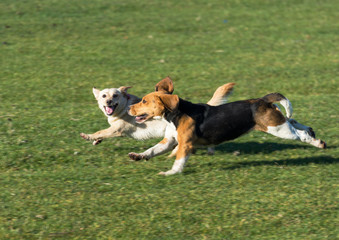 Dogs running in the grass happy and almost smiling at the camera