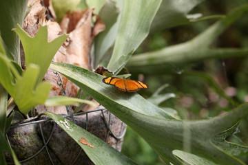 Butterflies, Dryas Julia.