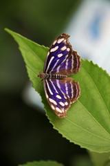 Butterflies, Myselia Cyaniris