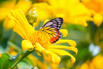 Monarch butterfly in sunflower flower. Macro closeup