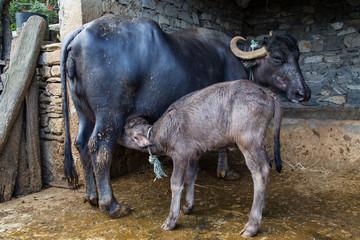 Young water buffalo suckling