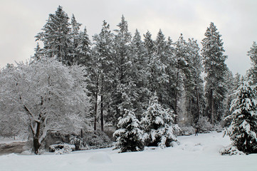 Deciduous and Evergreen Trees Covered in Snow