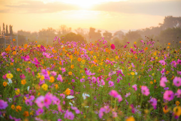 cosmos flower field in the morning at singpark in chiangrai, Tha