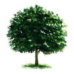 Beautiful fresh green deciduous tree isolated on white background