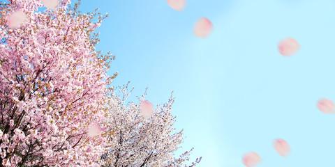 桜 春 祝賀