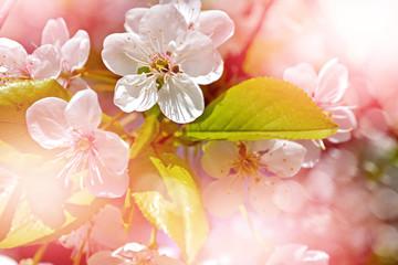 Spring landscape. Flowering branch of cherry