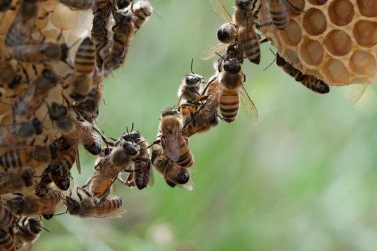 api costruiscono favo