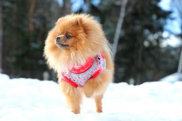 Pomeranian dog standing in snow. Winter dog. Spitz