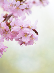 A branch with pink flowers of Japanese Sakura on a light green background
