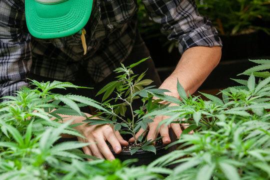 a farmer puts his marijuana plant into soil