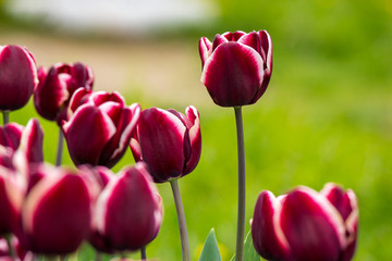 dark tulip with stripe on color blurred background