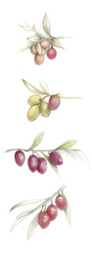 Hand drawn olives variety