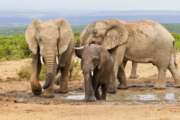 Family of elephants at a waterhole