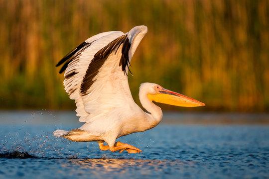 Starting white pelican (Romania, the Danube Delta)