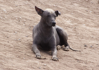 Peruvian Hairless dog guarding the pyramid at Huaca Huallamarca in Lima, Peru