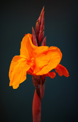 Bengal Tiger Canna Lily Flower
