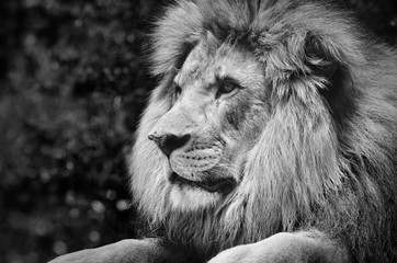Poster Leeuw Strong contrast black and white of a male lion in a kingly pose