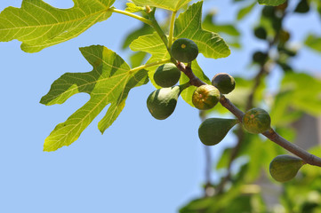 Young green fruits on a fig tree branch