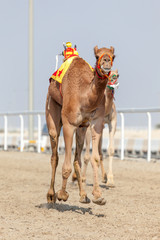 Racing camels in Qatar