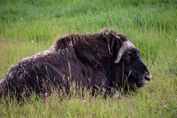 musk ox in alaska pasture grazzing park eating