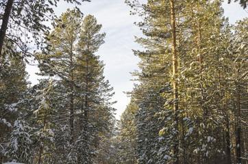 Pine trees in snow Siberian winter