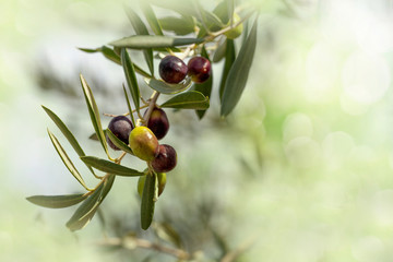Ripe Olives Branch