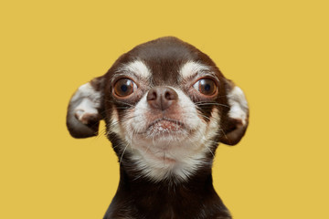 Chihuahua isolated on yellow background