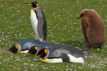 Adult King Penguin (Aptenodytes patagonicus) being followed by a hungry chick at Volunteer Point in the Falkland Islands.
