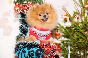Pomeranian dog. Dog wish Happy New Year. Happy New Year