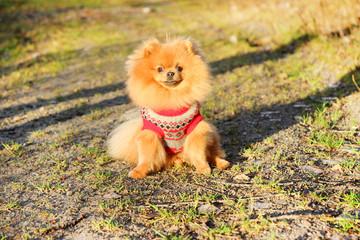 Sunny pomeranian dog. Beautiful dog. Pomeranian spitz
