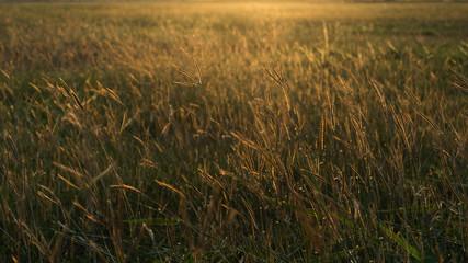 wild grass under the sun light vintage look