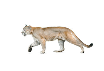 Photo sur Aluminium Puma cougar isolated over a white background