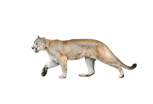 cougar isolated over a white background