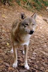 Wolf von vorne