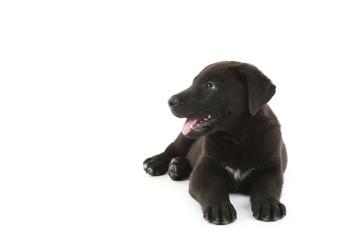 Beautiful black labrador puppy isolated on a white